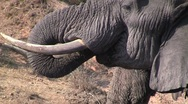 Stock Video Footage of Close up of drinking elephant