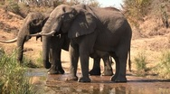 Stock Video Footage of African elephants drinking