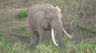 Stock Video Footage of Elephant eating grass