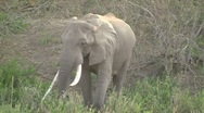 Stock Video Footage of Big African Elephant