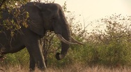 Stock Video Footage of Elephant in african bush