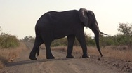 Stock Video Footage of African Elephant crosses road in afternoon