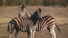 Zebras move synchronously Stock Footage