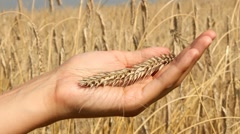 Hand separating the wheat from the chaff - stock footage