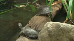 Two Turtles on a Log - stock footage