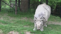 Rhino eating some grass Stock Footage