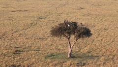 Buzzards Flying out of a Treetop in Masai Mara  (HD) Stock Footage