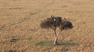 Stock Video Footage of Buzzards Flying out of a Treetop in Masai Mara  (HD)