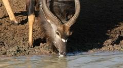 Nyala antelope drinking Stock Footage