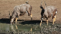 Nyala antelopes drinking Stock Footage