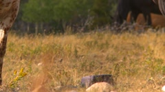 Horse and salt lick long shot, horse head comes into frame Stock Footage