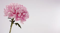 Hand picking petals off a pink chrysanthemum Stock Footage