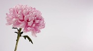 Stock Video Footage of Hand picking petals off a pink chrysanthemum