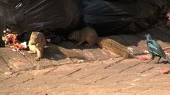 Squirrels eating trash Stock Footage