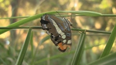 California Sister Butterfly On Blade Of Grass Stock Footage