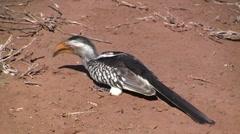 Hornbill eating Stock Footage