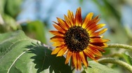 Stock Video Footage of Orange sunflower