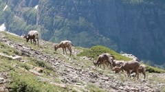 Bighorn sheep herd on a rocky mountain Stock Footage
