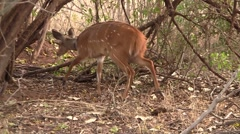 Bushbuck searches for food Stock Footage