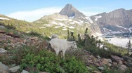Stock Video Footage of Mountain goats eating