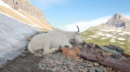 Stock Video Footage of Mountain goat chewing resting