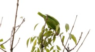 Stock Video Footage of Red Crowned Amazon Parrot