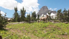 Bighorn sheep walking in the mountains Stock Footage
