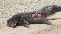 Roadkill Wolverine dead with flies Stock Footage