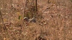 African hornbill on the ground Stock Footage