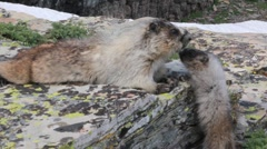 Marmots mother and child animals Stock Footage
