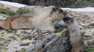 Stock Video Footage of Marmots mother and child animals