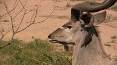 Close up of an eating kudu Stock Footage