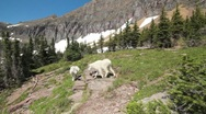Stock Video Footage of Mountain goats fighting