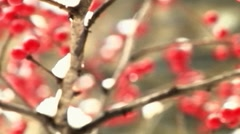 Red winter berries covered in snow Stock Footage