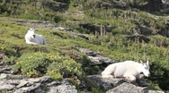 Stock Video Footage of Mountain goats mother and baby
