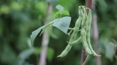 Green beans being picked Stock Footage