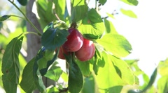 A red plum being picked Stock Footage