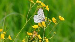 White butterfly on yellow flowers  - aporia crataegi Stock Footage