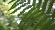 Stock Video Footage of Woodland Fern Detail