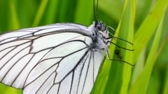 white butterfly on green leaf macro - aporia crataegi - stock footage