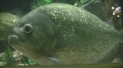 Side of a Piranha - stock footage