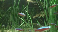 Tetra Fish Stock Footage