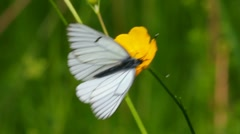 white butterfly on yellow flowers  - aporia crataegi - stock footage