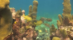 Pillar coral, sergeant majors Stock Footage