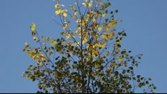 Stock Video Footage of A fierce autumn wind shakes a yellow colored birch tree
