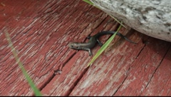 Viviparous lizard (Zootoca vivipara) gathering warmth on sunwarmed planks Stock Footage