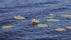 Waterlilies floating on a lake Stock Footage