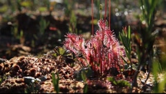 Great sundew (Drosera anglica) Stock Footage