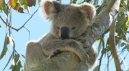 Sleepy Koala Bear - Cute Australian Animal Stock Footage