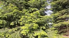 Cedar trees dolly slider day Stock Footage